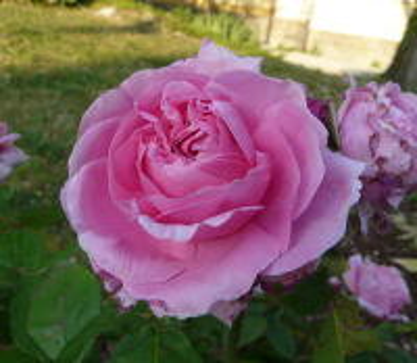 Rosa 'Comte de Chambord'