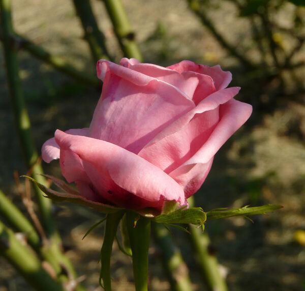 Rosa 'Coral Dawn'