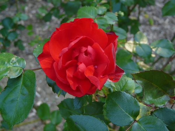 Rosa 'La Sevillana ®'