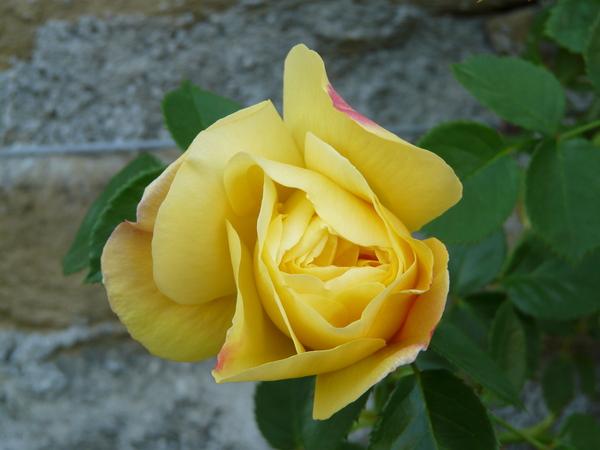 Rosa 'Chris'