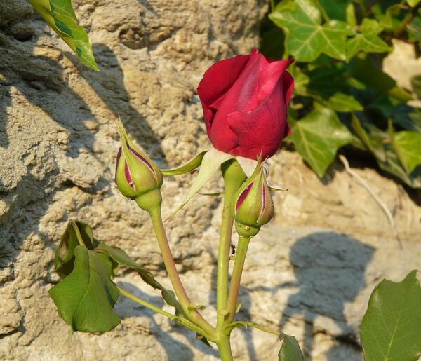 Rosa 'Souvenir de Claudius Denoyel'