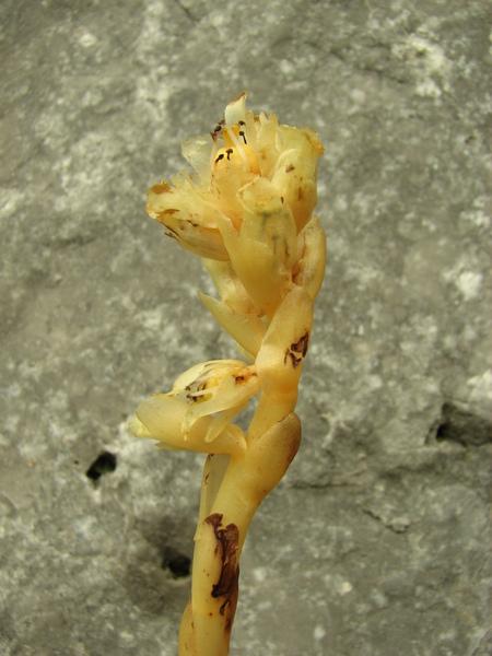 Monotropa hypophegea Wallr.