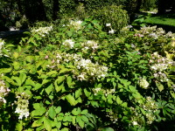 Hydrangea paniculata Siebold 'Grandiflora'