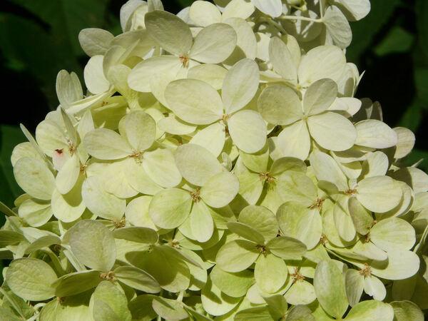 Hydrangea paniculata Siebold 'Limelight'