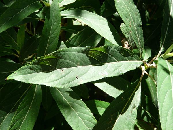 Hydrangea aspera D.Don subsp. strigosa (Rehder) E.M. McClint.
