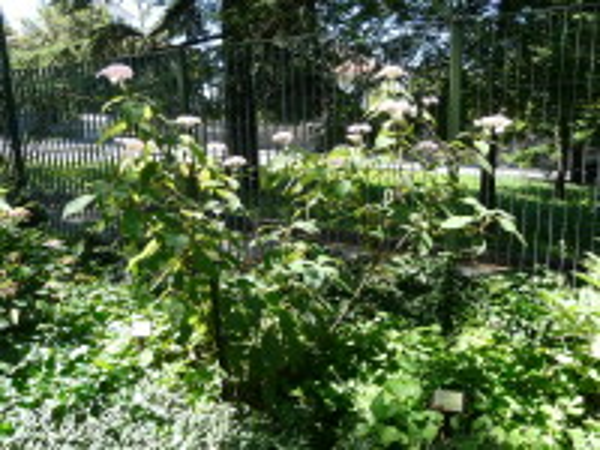 Hydrangea aspera D.Don 'Taiwan Pink'