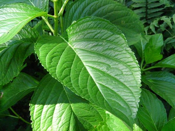 Hydrangea macrophylla (Thunb.) Ser. var. hattoriana Kitam.