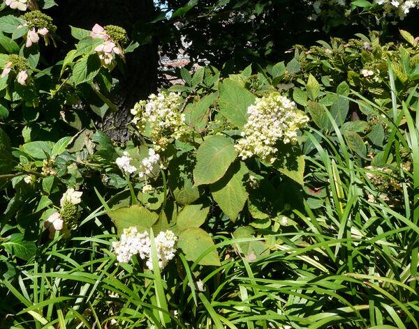 Hydrangea involucrata Siebold 'Hortensis'