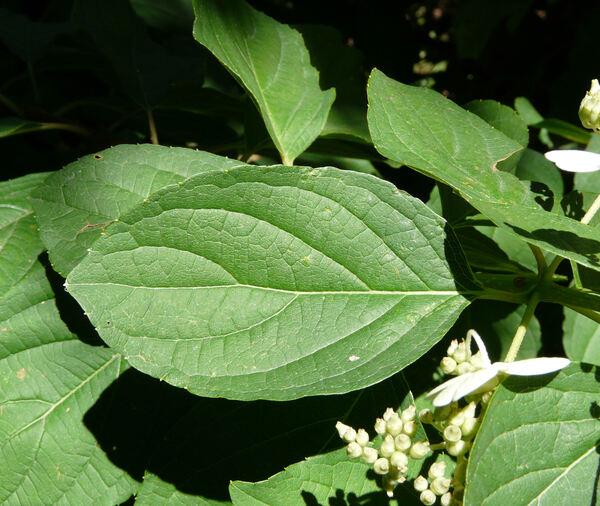 Hydrangea paniculata Siebold 'Green Spire'