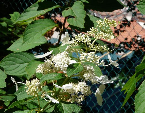 Hydrangea paniculata Siebold 'White Moth'