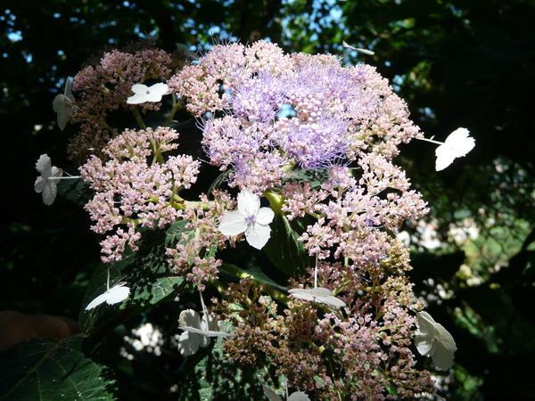 Hydrangea aspera D.Don 'Rowallane'