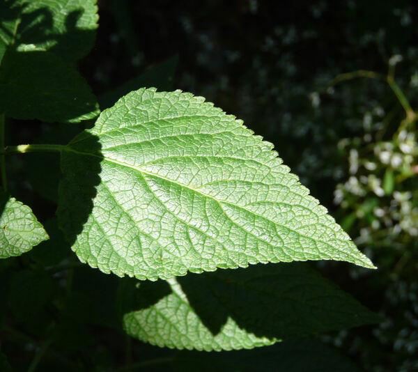 Salvia circinnata Cav.
