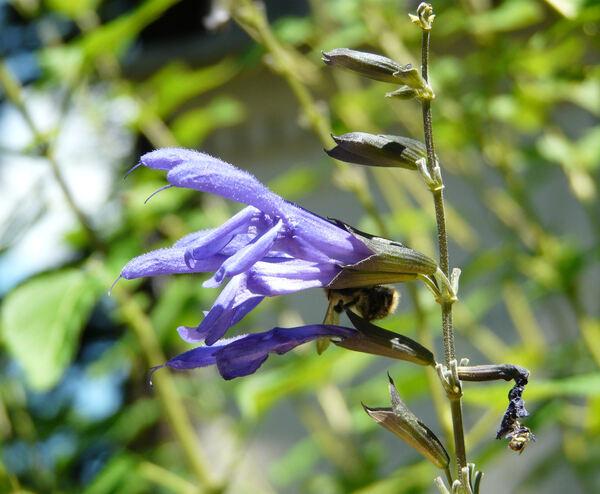 Salvia × ianthina Otto & A.Dietr.