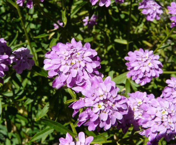 Iberis linifolia L. subsp. linifolia