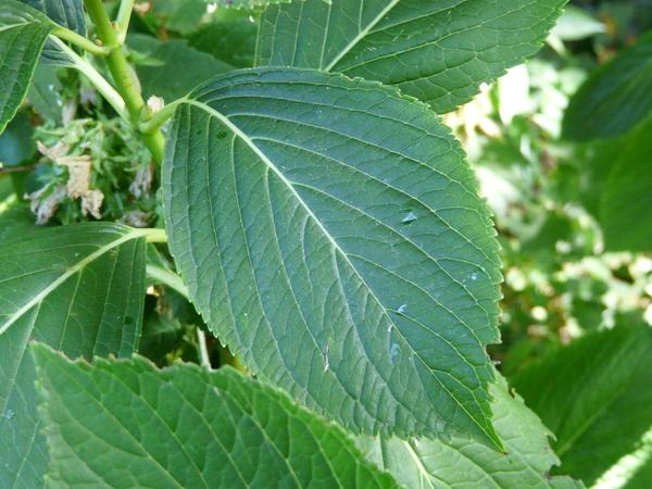 Hydrangea macrophylla (Thunb.) Ser. 'Hatsu Shimo'
