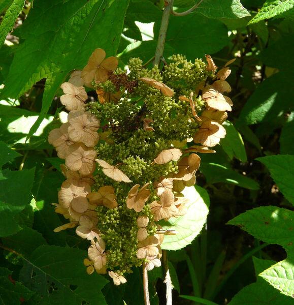 Hydrangea quercifolia 'Tennessee Clone'