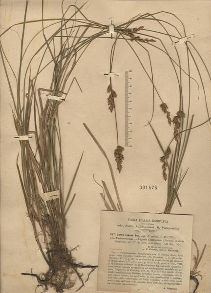 Carex repens Bellardi