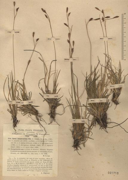 Carex sempervirens Vill. subsp. sempervirens