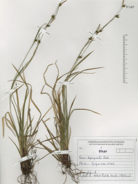 Carex depauperata Curtis ex With.