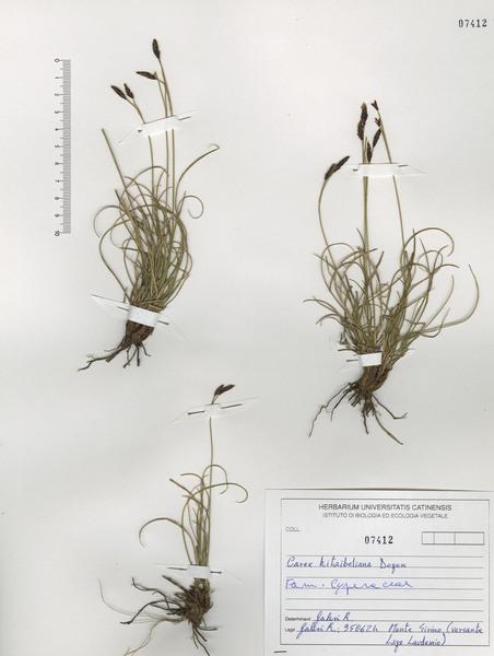 Carex kitaibeliana Degen ex Bech.