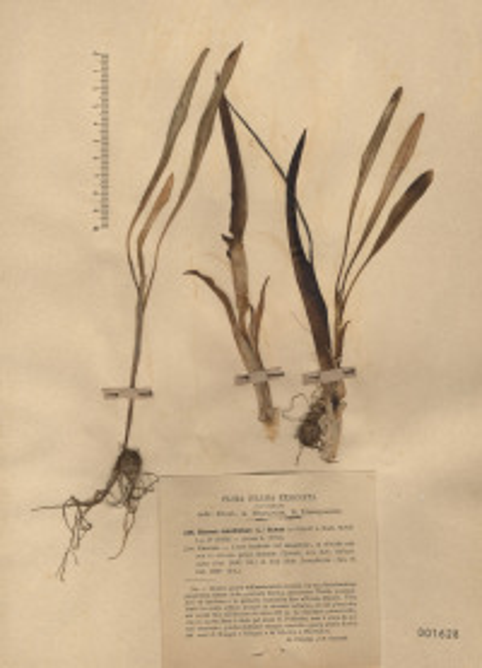 Biarum tenuifolium (L.) Schott
