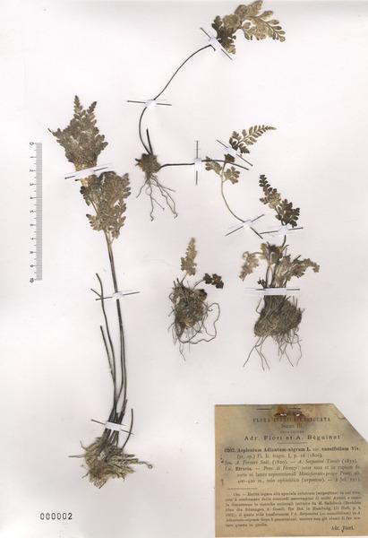 Asplenium cuneifolium Viv. subsp. cuneifolium