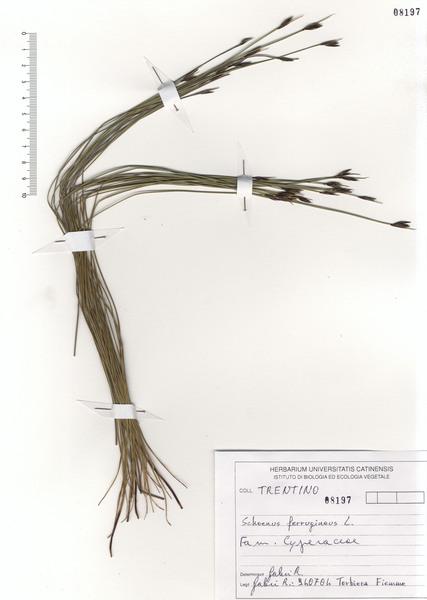 Schoenus ferrugineus L.