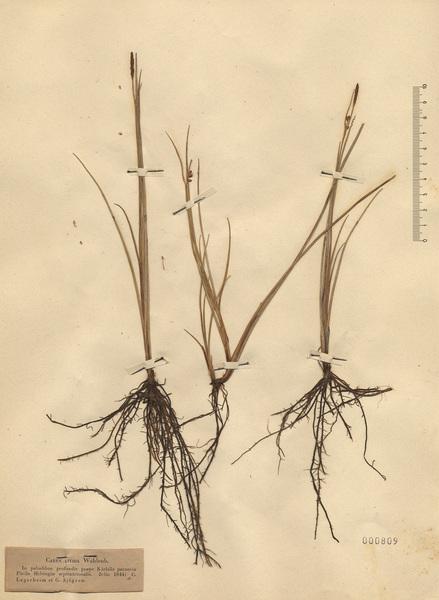 Carex livida (Wahlenb.) Willd.