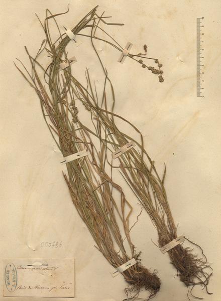 Carex muricata L.