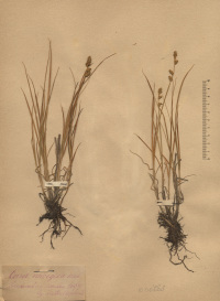Carex norvegica Retz.