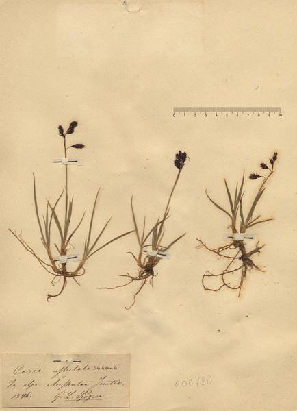 Carex atrofusca Schkuhr