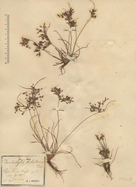 Fimbristylis dichotoma (L.) Vahl