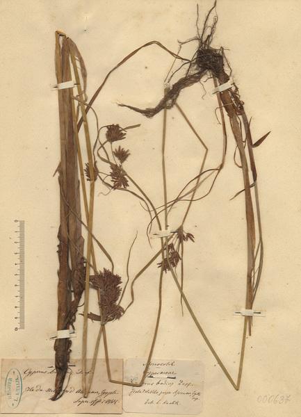 Cyperus badius Desf.