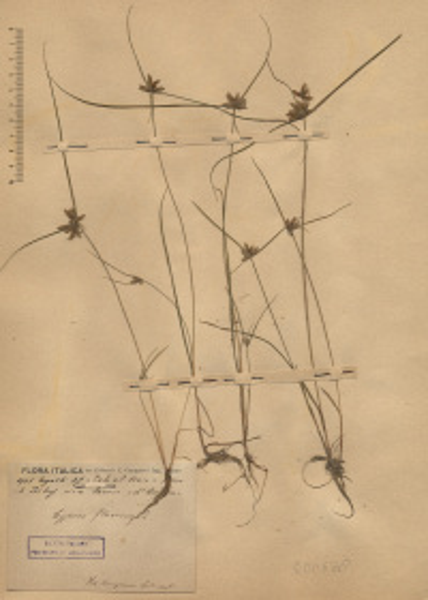 Cyperus flavescens L.