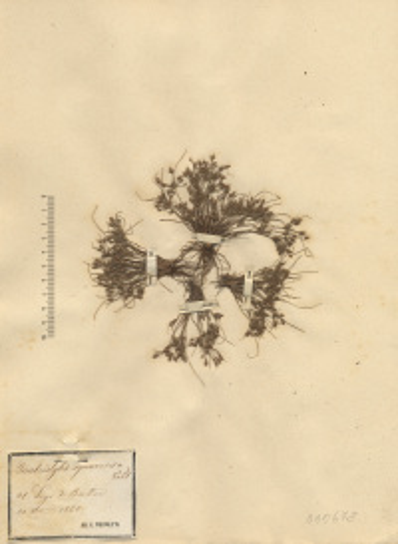 Fimbristylis squarrosa Vahl