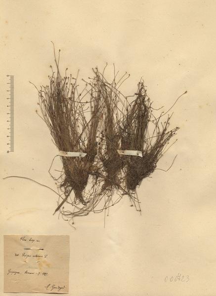 Isolepis setacea (L.) R.Br.