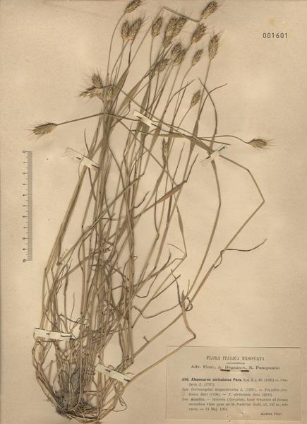 Alopecurus utriculatus (L.) Pers.