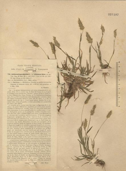 Anthoxanthum aristatum Boiss. s.l.