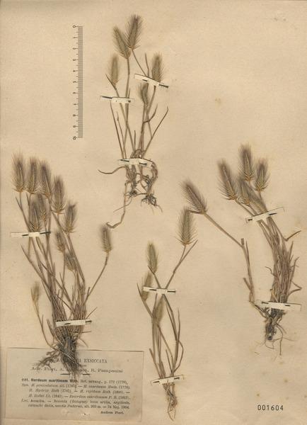 Hordeum marinum Huds.