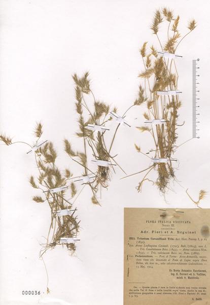 Trisetaria loeflingiana (L.) Paunero subsp. loeflingiana