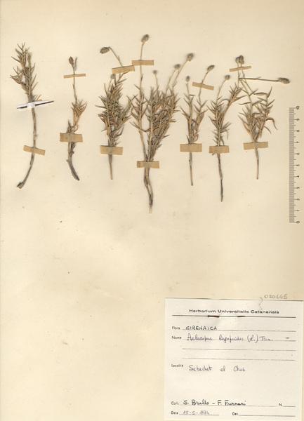 Aeluropus lagopoides (L.) Trin. ex Thwaites