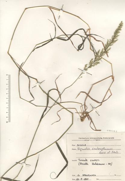 Agrostis stolonifera L. subsp. scabriglumis (Boiss. & Reut.) Maire