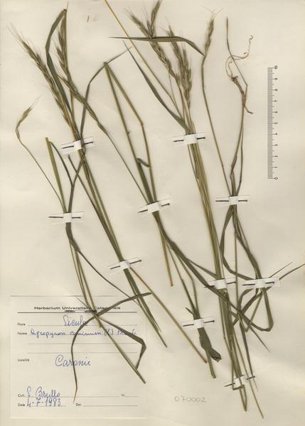Elymus caninus (L.) L.
