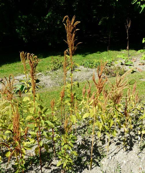 Amaranthus aureus Besser