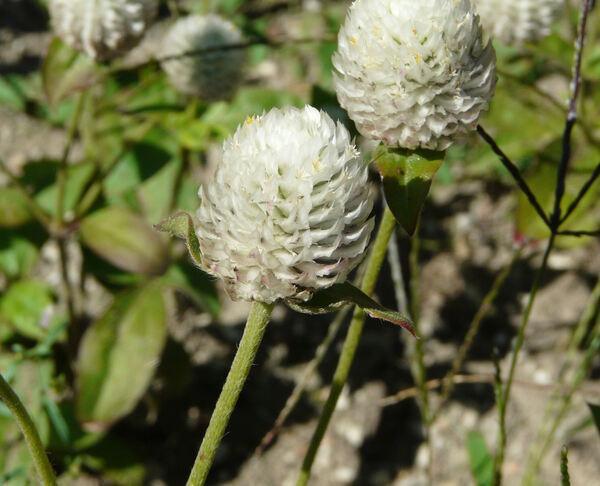 Gomphrena globosa L.