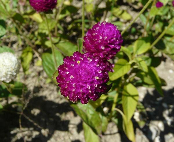 Gomphrena globosa L. 'Purple'
