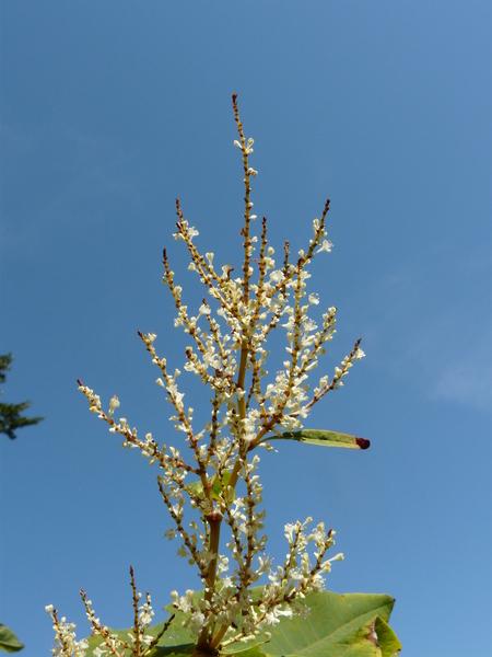 Reynoutria sachalinensis (F.Schmidt) Nakai