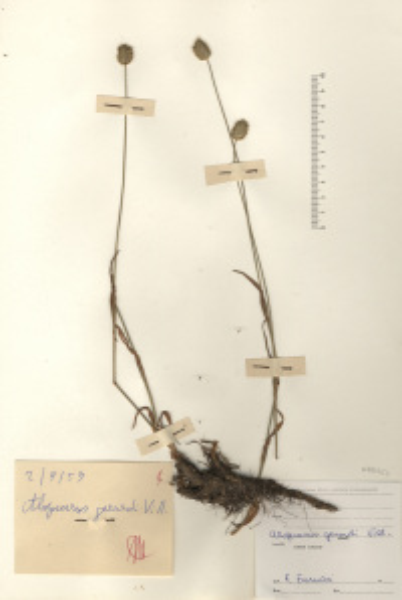 Alopecurus gerardi Vill.