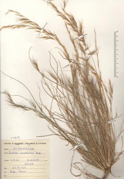 Aristida adscensionis L.