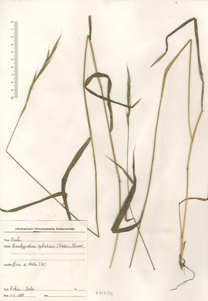 Brachypodium sylvaticum (Huds.) P. Beauv. s.l.